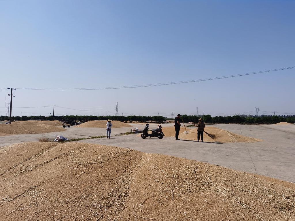 三夏麦收正当时  黄泛区农场收割忙